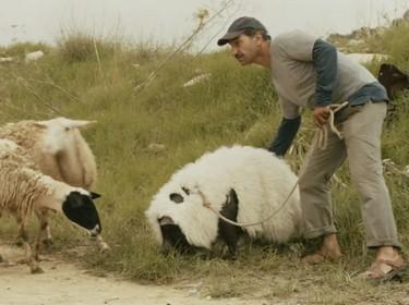 le cochon de gaza - moutons